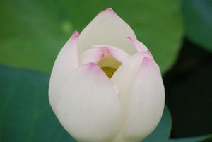 ハスの花2の500